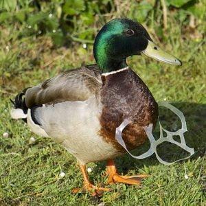 Litter_duck